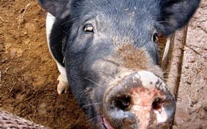 Porcul românesc, sacrificat de statul român