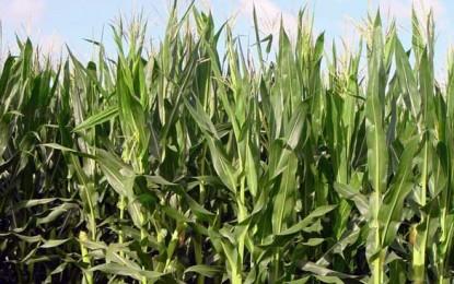 Ungaria distruge culturile de porumb modificat genetic