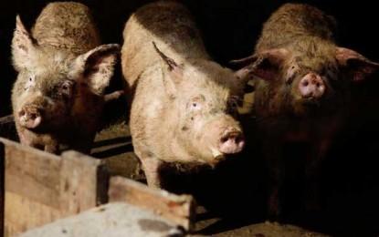 Aproape 1000 de chinezi arestați în urma scandalului porcilor hrăniți cu Clenbuterol