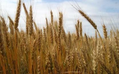 """""""Producția-record de grâu"""", o manipulare îndreptată împotriva micilor producători"""