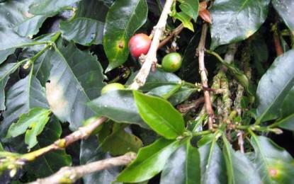 Biotehnologia vrea să salveze cafeaua columbiană
