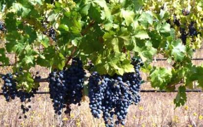 Viticultura a absorbit 660 de milioane de euro din fondurile comunitare