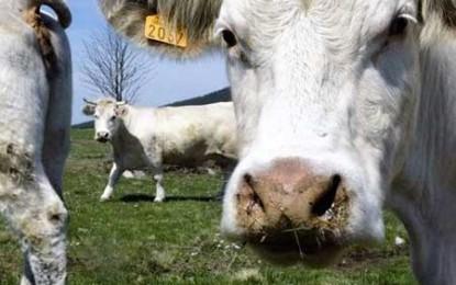 Ar trebui vacile să bea vin ca să dea o carne mai bună?