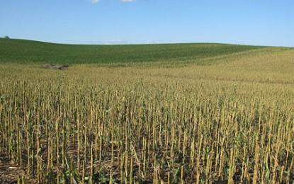 Monsanto mai pierde o luptă cu dăunătorii porumbului