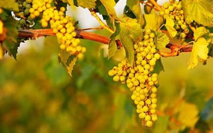 România este noul El Dorado viticol european