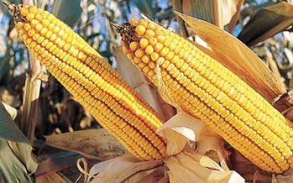 UE îngheață aprobarea culturilor modificate genetic. Dar numai până în 2014