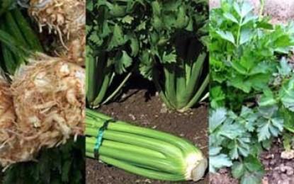 Țelina, o legumă cu mai multe înfățișări