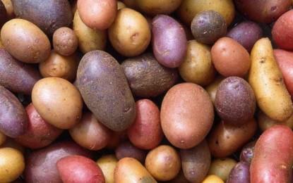 Cartofii luptă cu succes împotriva ronțăitului dintre mese