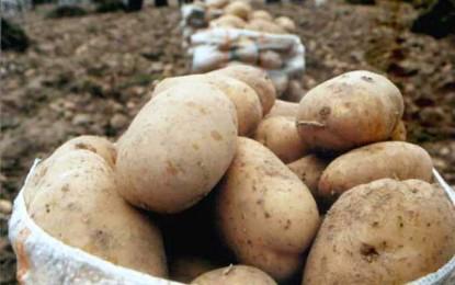 Producătorii de cartofi au probleme serioase: prețul e mic, iar concurența externă e mare