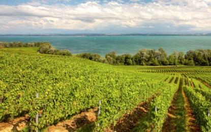 Reforma vinului: pare să învingă ideea menținerii unor drepturi de plantare