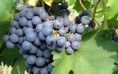 Păstorel, vinul de Uricani și Băbeasca Neagră
